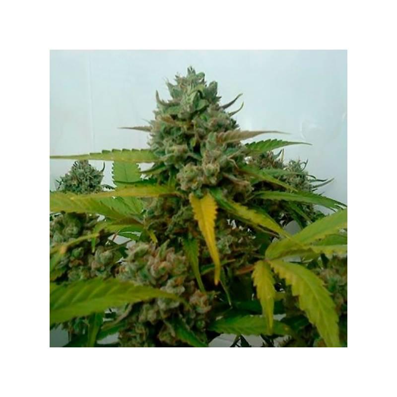 Caramel King Autofloreciente Feminizada - 5 uds auto-fem