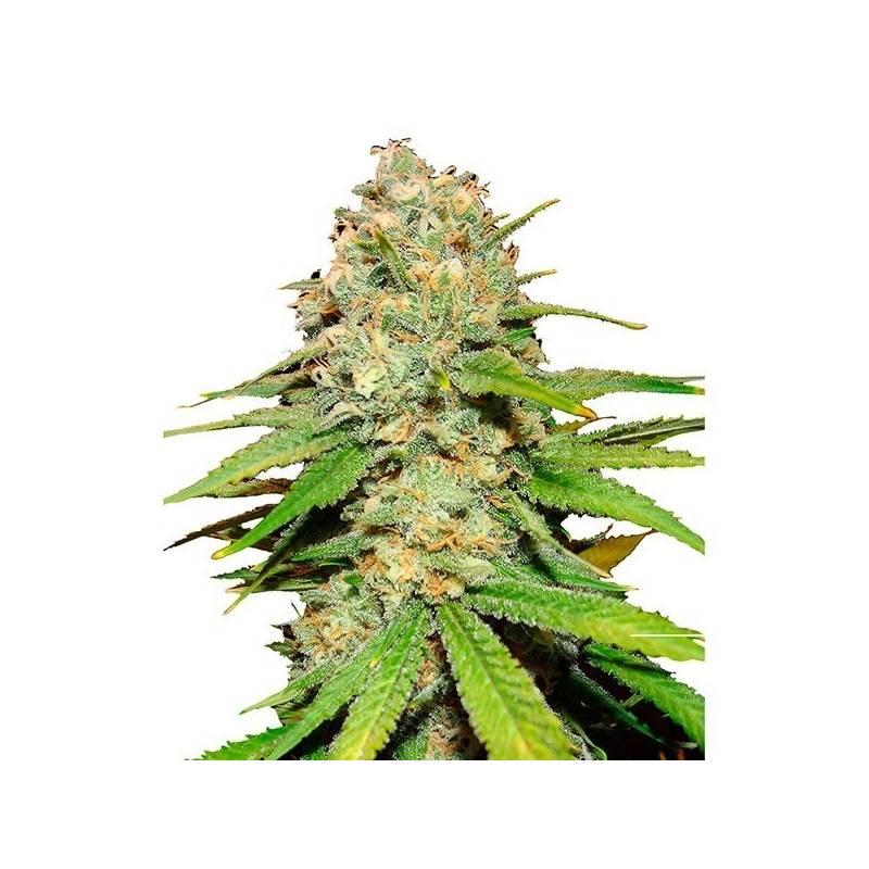 Blueberry Feminizada - 5 uds fem