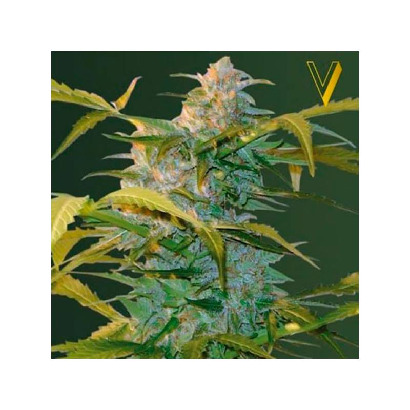 Auto heaven autofloreciente feminizada victory seeds for Autofloreciente interior