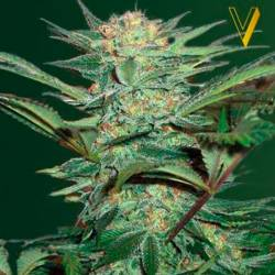 White Widow Autofloreciente...