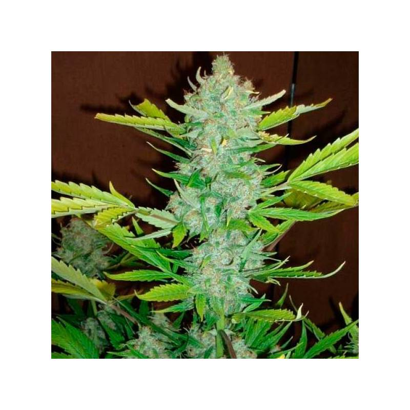 Auto Blueberry Kush Autofloreciente