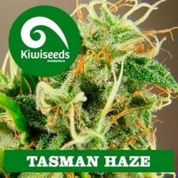 Tasman Haze Feminizada