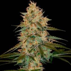 Choco Kush Autoflower Autofloreciente