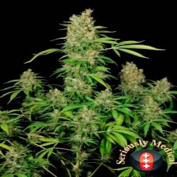 Chronic Cbd Feminizada