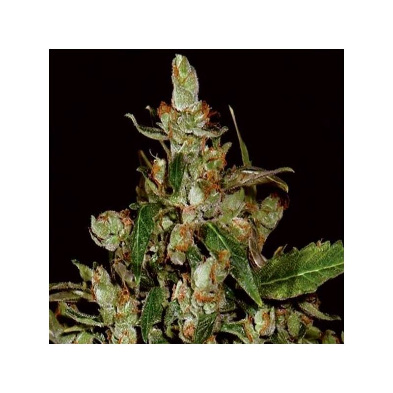 Cbd Auto White Widow Autofloreciente