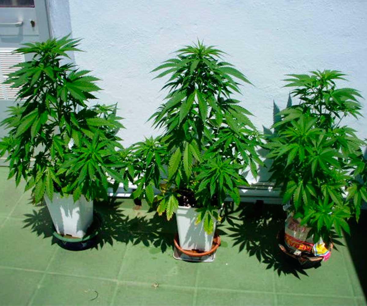 como cultivar marihuana en invierno blog cultivo marihuana