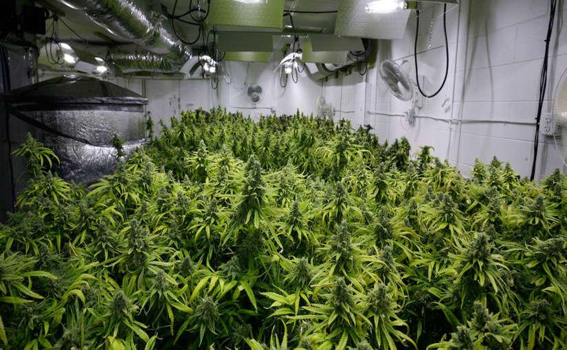 Marihuana como usarla para bajar de peso