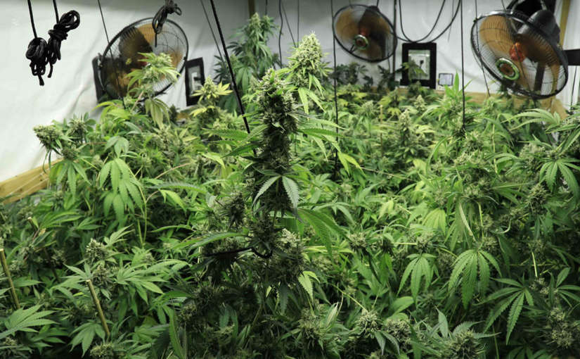 Cómo se debe usar el ventilador en el cultivo de marihuana
