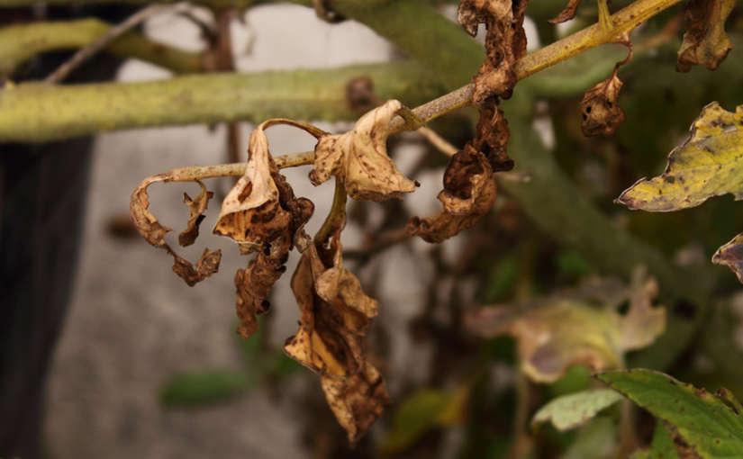 Fusarium en Cannabis: Cómo identificar, prevenir y eliminar este hongo