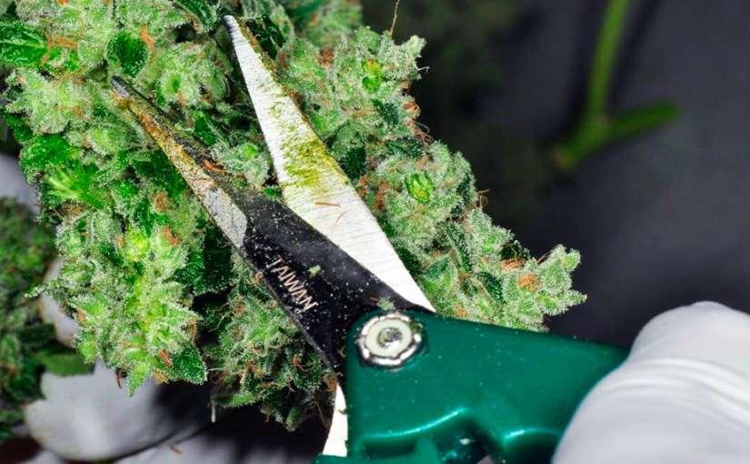Manicurar Cannabis: ¿A máquina o a mano? Pros y Contras de cada método