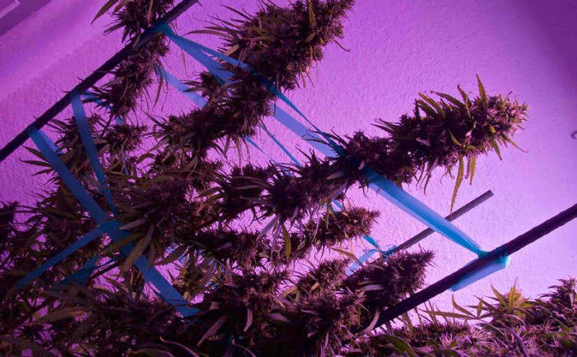 evitar-crecimiento-cannabis