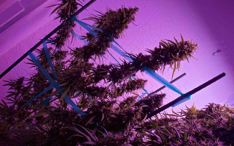 evitar-crecimiento-acelerado-plantas-cannabis