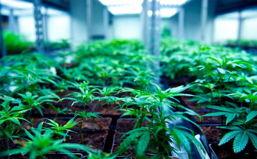 semillas early marihuana