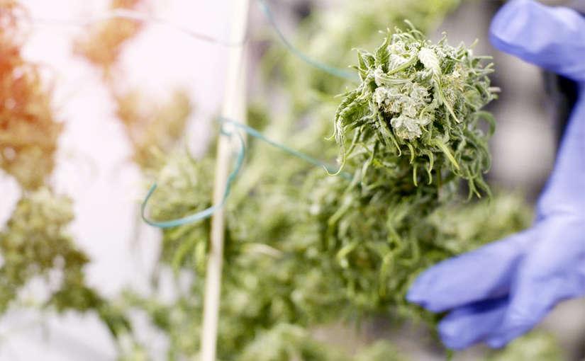 ¿Cuánto tiempo se necesita para la curación de cogollos de marihuana?