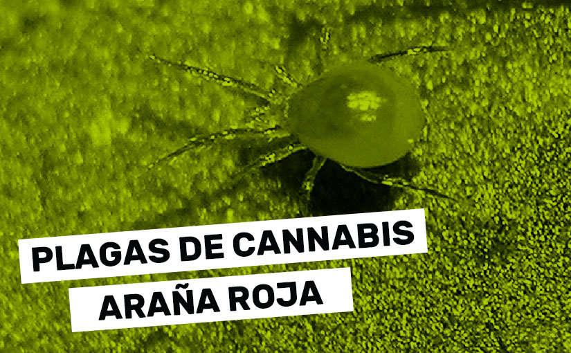 Cómo prevenir y eliminar la araña roja en plantas de marihuana
