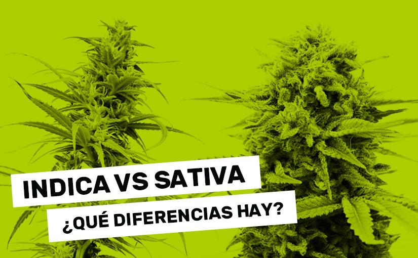 Indica Y Sativa En Que Se Diferencian Estas Dos Variedades De Cannabis