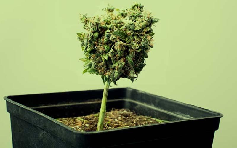 cultivar-semillas-autoflorecientes-exterior