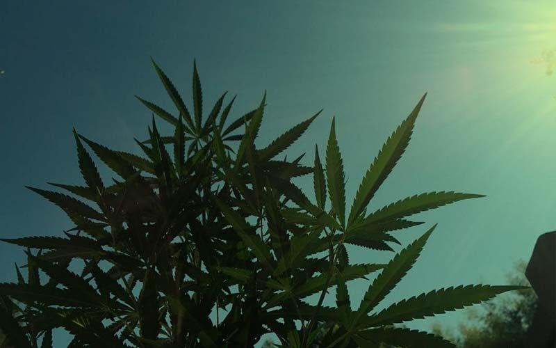 marihuana-primavera