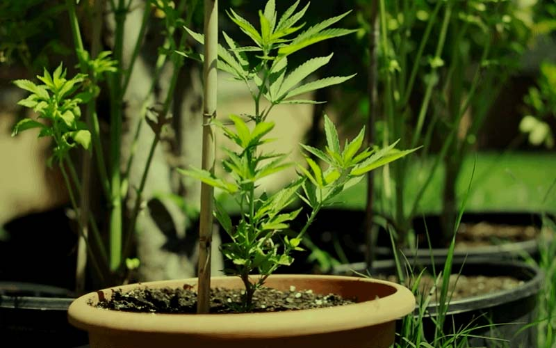 ventajas-cultivar-semillas-autoflorecientes