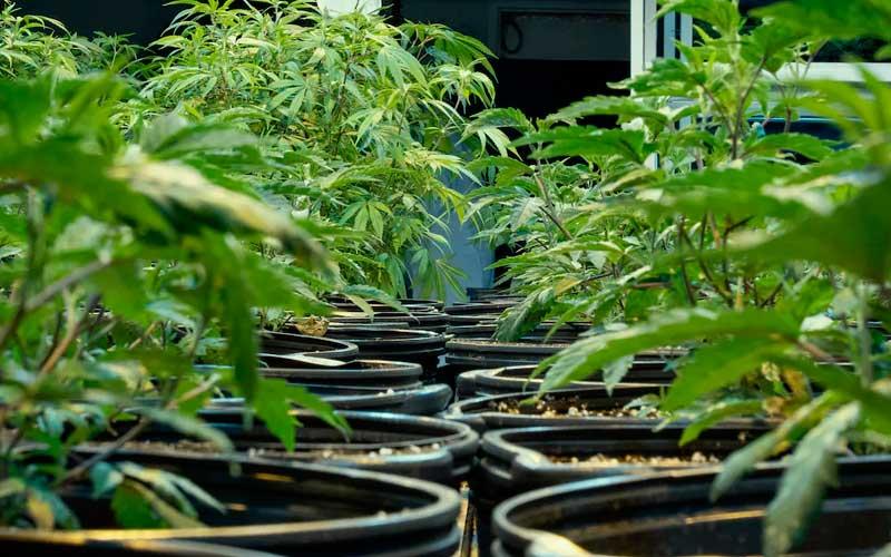 keep-healthy-mother-marijuana-plant