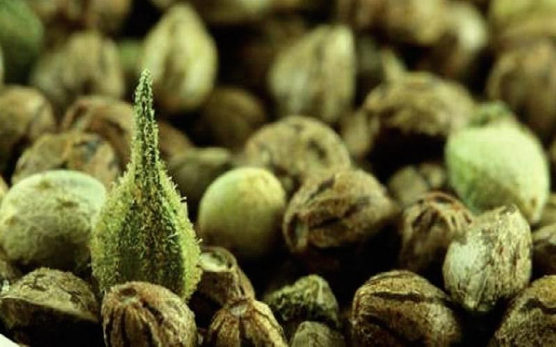 time-storage-seeds-marijuana