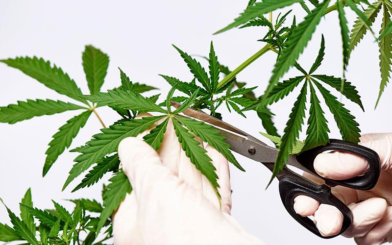 cut-leaf-cannabis