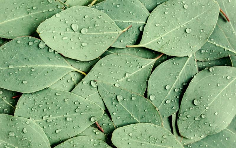 eucalyptol-cineole