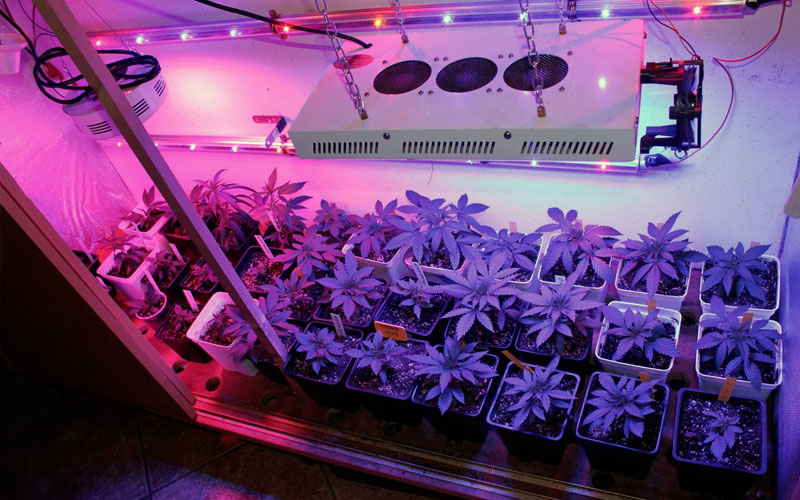 fatten-buds-cannabis-light