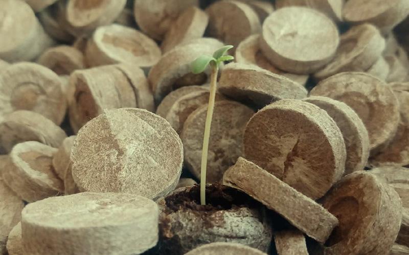 germinate-seeds-cannabis-jiffy