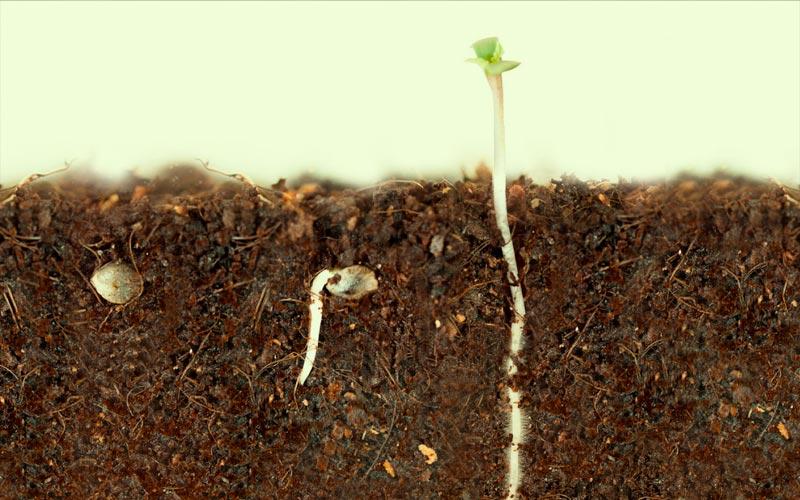 germinate-cannabis-seeds
