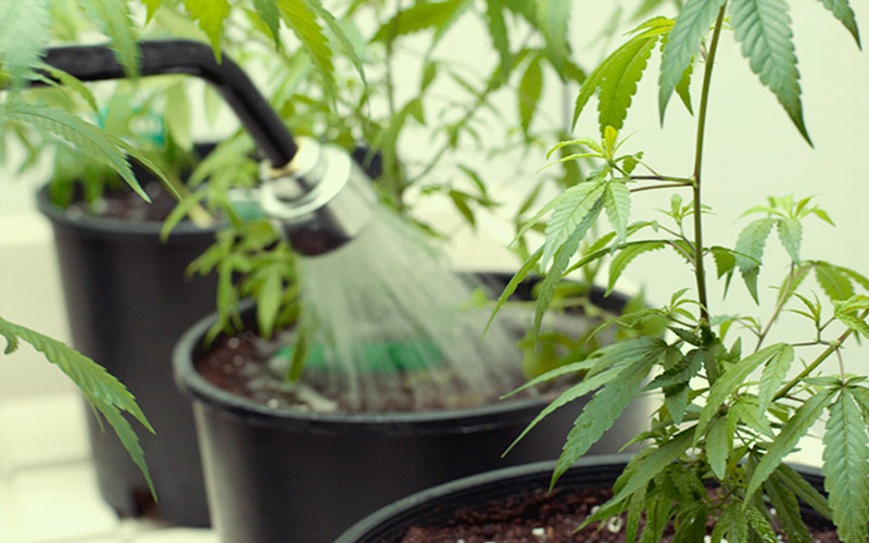 common-problems-growth-phase-watered-plants