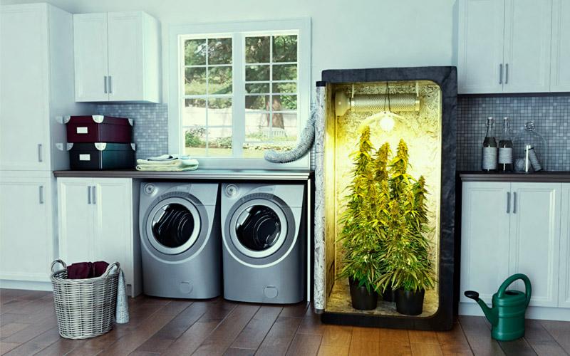 grow-cannabis-indoor