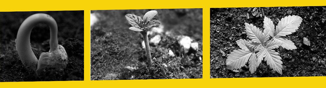 Crecimiento semillas marihuana